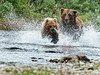 Large brown bear chasing smaller grizzly to steal his salmon catch........................to puchase print or digital file e mail DFriend150@gmail.com
