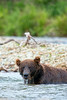 brown bear unsucessful in catching salmon