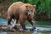 Brown bear on stream