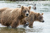 Mother and two year old cub looking for salmon