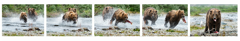 Sequence of large grizzly bear stealing salmon from smaller grizzly bear
