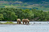 Brown bear cubs on shore
