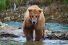 Brown bear walking toward photographer