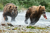 "Large brown bear chasing smaller brown to steal his salmon catch.......................to puchase <a href=""http://bit.ly/1ow6FQU"">http://bit.ly/1ow6FQU</a>"