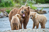 Mother brown bear and two cubs on island middle of stream