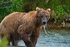 Brown bear after diving in the water for salmon
