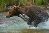 Brown bear chasing salmon high speed chase