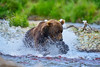 Brown bear chasing salmon
