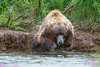 Brown bear jumping into stream after salmon