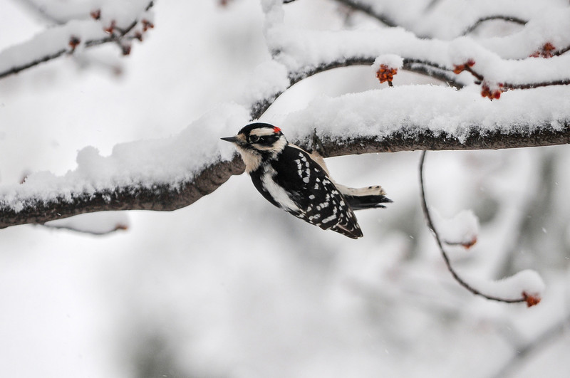 Downy Woodpecker hanging on tree......................................Digital files and prints can be purchased - email DFriend150@gmail.com