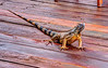 Iguana on porch