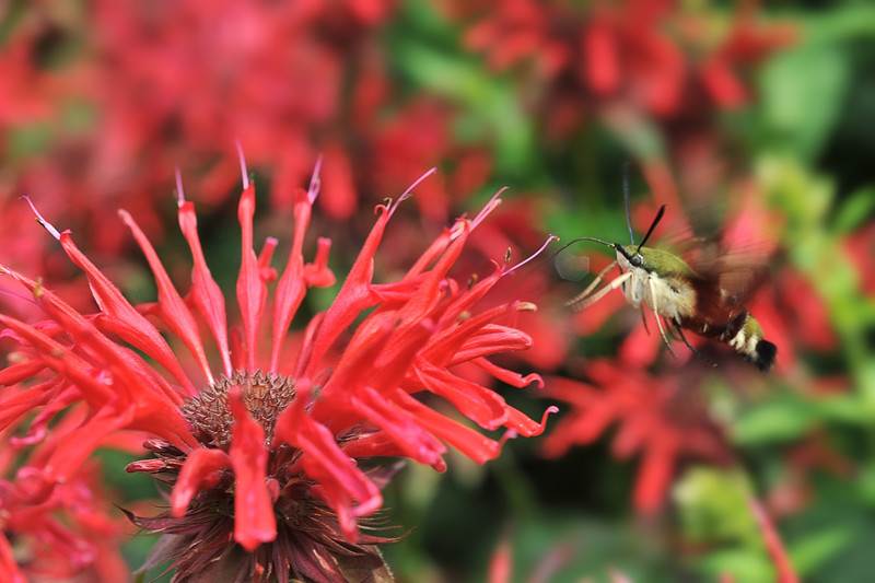 Hummingbird Moth feeding on red flower ...........................................Prints or digital files can be purchased by e mailing DFriend150@gmail.com