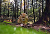 mountain lion - animals that use to roam Appalachian mountains, mountian lion