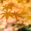 Cluster of Orange Japanese Maple Leaves