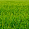 Green Rice Fields of Japan