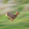 Roe deer running, Islay