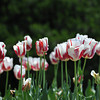 Red and White Tulips. At the Kyoto Botanical Garden.