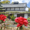 Red Peonies and Temple Accommodations. At Otokuni Temple in Nagaokakyo, Kyoto-fu, Japan.