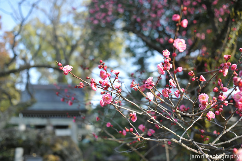Pink Blossoms by the Sub Shrine