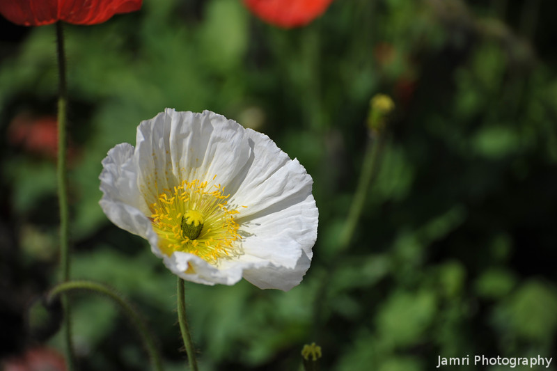 White Poppy. At the Kyoto Botanical Garden.