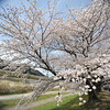 A Big Sakura Tree. On a long narrow stretch of land between the Katsura, Yodo, and Uji Rivers in Yawata city, Kyoto-fu. This photo was taken with a crop lens (the Sigma 10-20 f4-5.6 EX DC HSM) on my D700 (full frame camera) as you can see the photo almost fills the frame, certainly more than just the 1.5 crop zone, however the edges are very soft. I do like the effect sometimes though, and it's certainly wider than my widest full frame lens with is a 24mm.