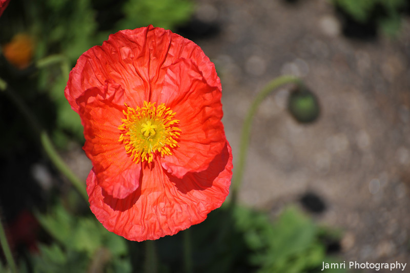 Orange Poppy. At the Kyoto Botanical Garden.