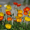 Yellow and Orange Poppies At the Kyoto Botanical Garden.