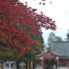 Autumn on Mt. Hiei. At the higher altitude the maples change about three or four weeks earlier than they do around our neighbourhood.