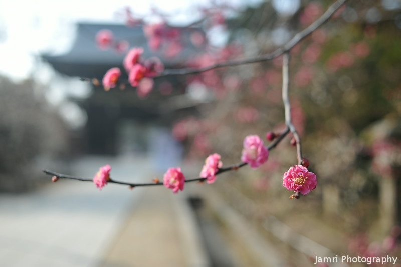Some Pink Ume