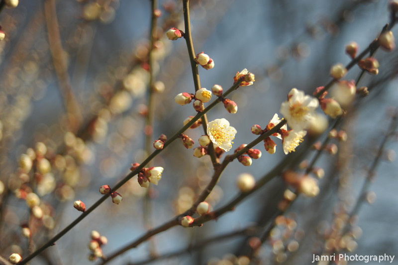 White Ume in the Grounds of Osaka Castle. Ume is Plum Blossom.