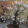 Bonsai Ume. On display in the grounds of Osaka Castle.
