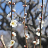 Catching some Sun. A White Ume (Plum Blossom) in the grounds of Osaka Castle.