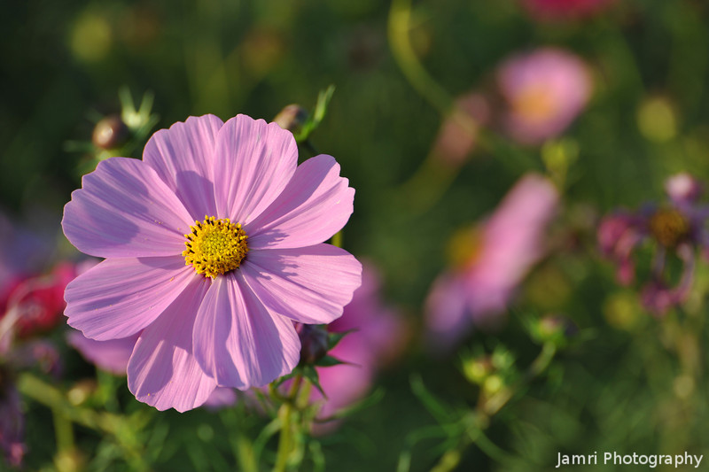 Pink Cosmos catching the Sun