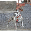 Street art in Woodstock, Cape Town: Pitbull by Mzayiya, 2011