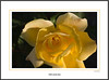 Yellow garden rose