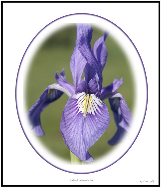 Colorado mountain iris