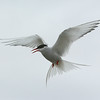 Aggressive Arctic tern defending its nest near the road outside Longyearbyen