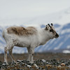 Svalbard reindeer at Cape Millar