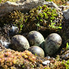 A purple sandpiper nest at Recherchefjord