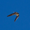 Bank Swallow  Crowley Lake 2013 05 20 (7 of 8).CR2