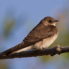 Rough-winged Swallow  Diaz Lake Lone Pine 2013 04 23 (1 of 3).CR2