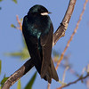 Tree Swallow  Diaz Lake Lone Pine 2013 04 23 (1 of 1).CR2
