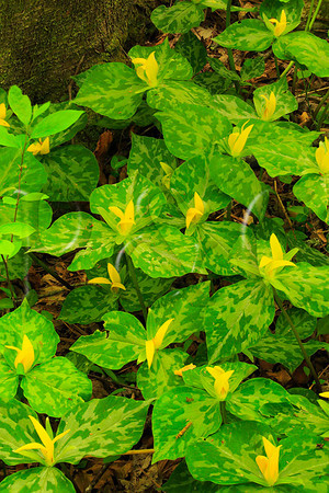 TN SMP SCHOOLHOUSE GAP TRAIL YELLOW TRILLIUM MAYAC_MG_5352bMMW