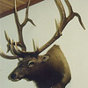 "Rocky Mountain Elk Shoulder Mount<br /> Anderson Taxidermy & Guide Service, Inc. <br />  <a href=""http://www.THEHUNTPRO.com"">http://www.THEHUNTPRO.com</a>"