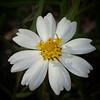 Blackfoot Daisy (Melampodium leucanthum)