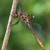 Roseate Skimmer (young male)