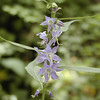 Tall bellflower <br /> Starr Mtn TN