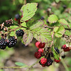 Blackberries on Starr Mtn Rd TN