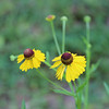 Purple headed sneezeweed<br /> Helenium flexuosum