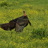Wild Turkey In Field